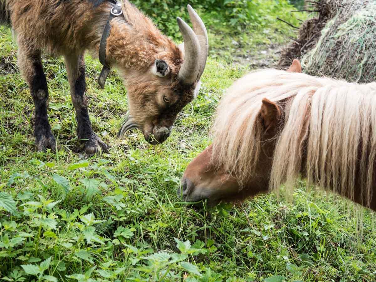Pony und Ziege