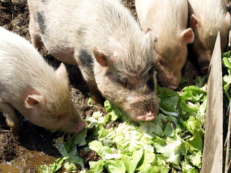 Minischweine an der Salatbar